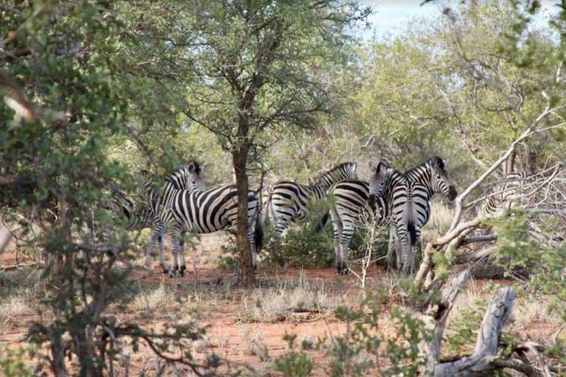 nThambo Zebras