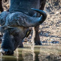 The Buffalo is the Most Dangerous of the Big Five. Here's Why.