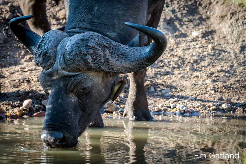 , The Buffalo is the Most Dangerous of the Big Five. Here's Why.