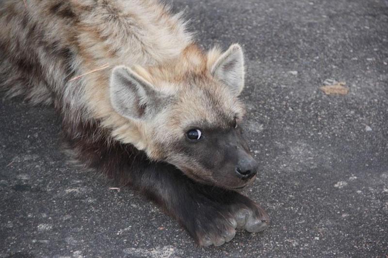 Klaserie Sands River Lodge Hyena