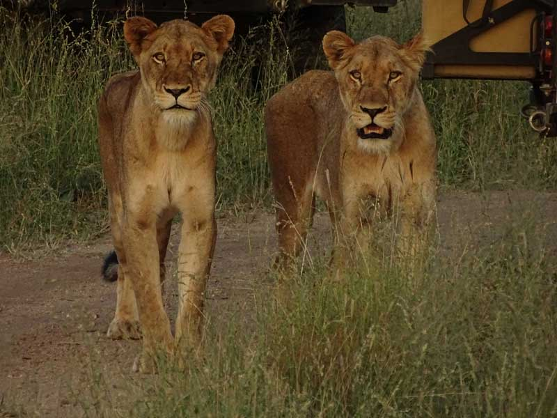 Lions of the Sabi Sand
