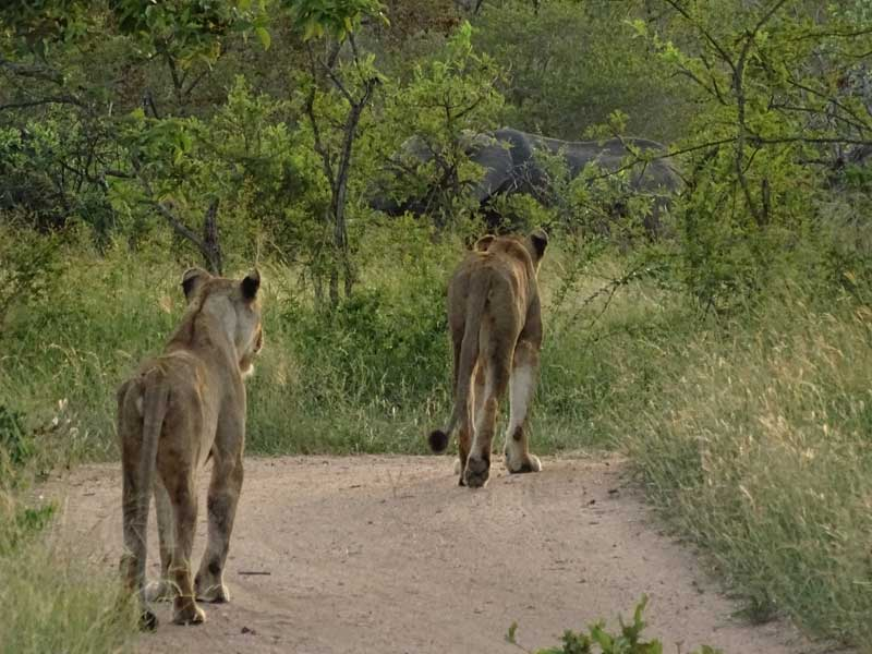 Lions While in SAbi SAnd