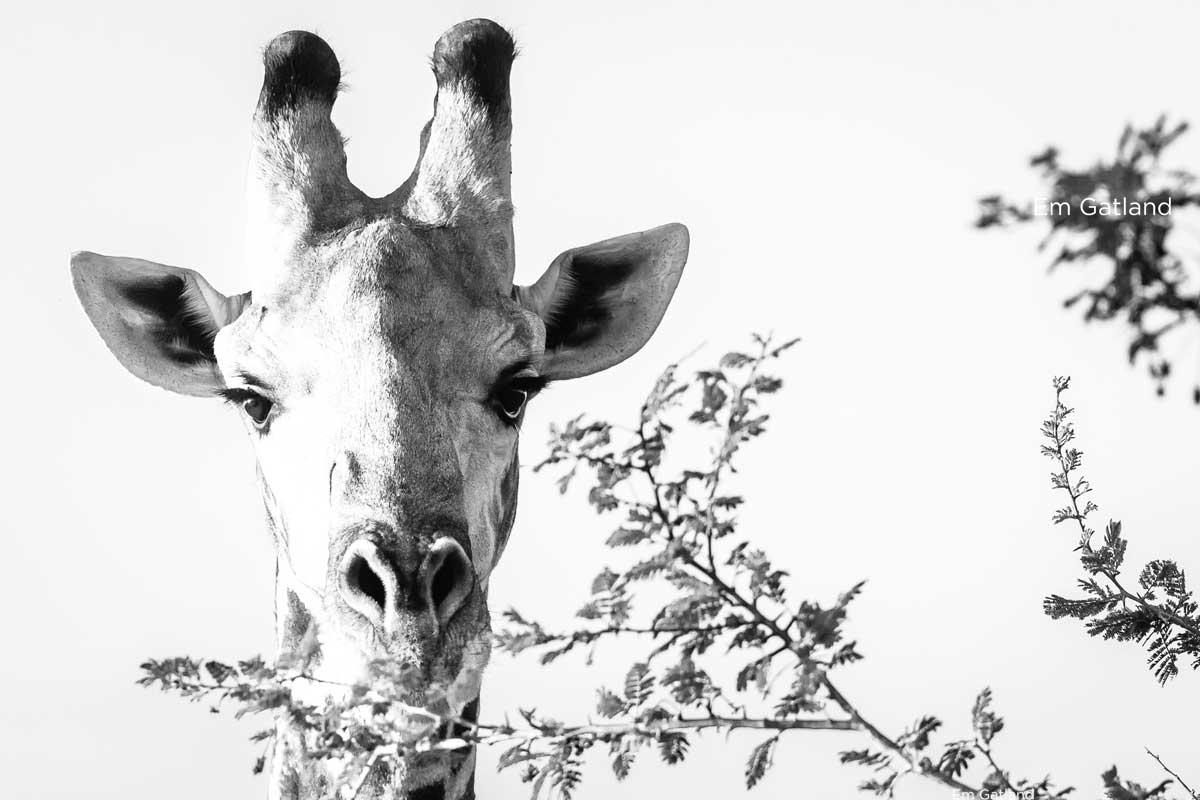 Giraffe Browsing on Foliage