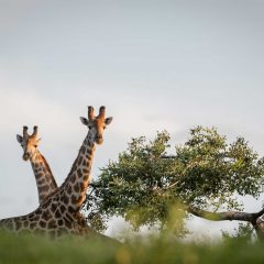 Know Before You Go : 4 Facts About a Giraffe's Eating Habits