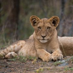 Lions Return to the Plains of Camdeboo at Samara Private Game Reserve