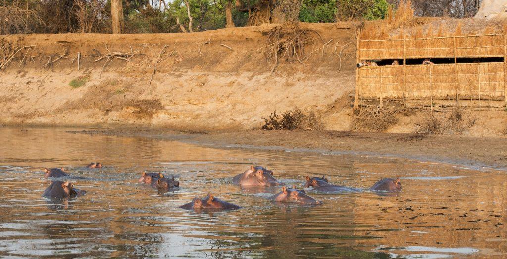 Kaingo Camp hippo hide