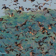Annual Fruit Bat Migration in Kasanka National Park
