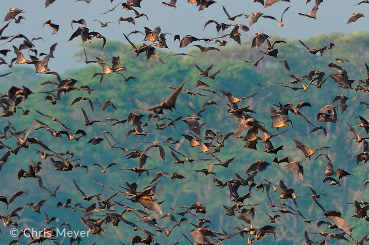 Annual Fruit Bat Migration in Kasanka National Park