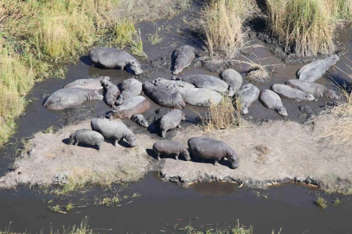 Bloat of Hippo in Okavango Delta
