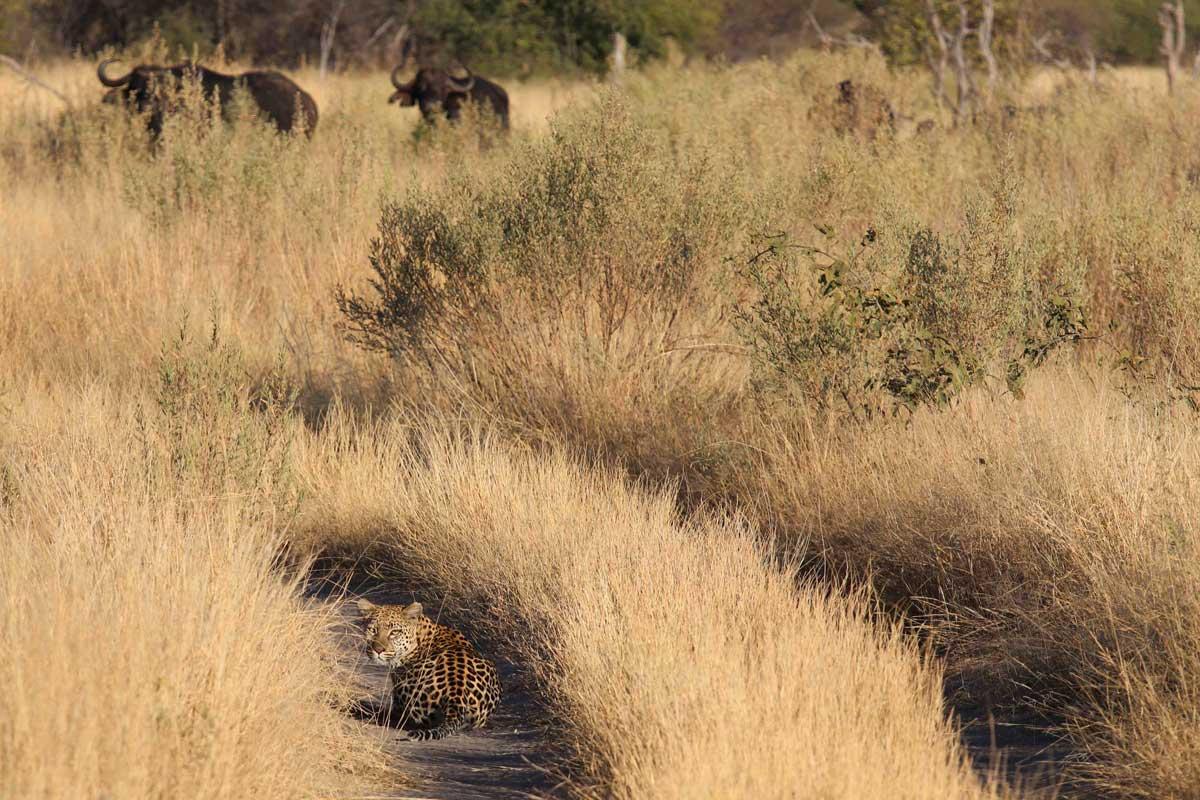 Leopard in Okavango Delta