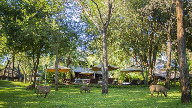 Lokuthula Lodge Warthog on Grounds