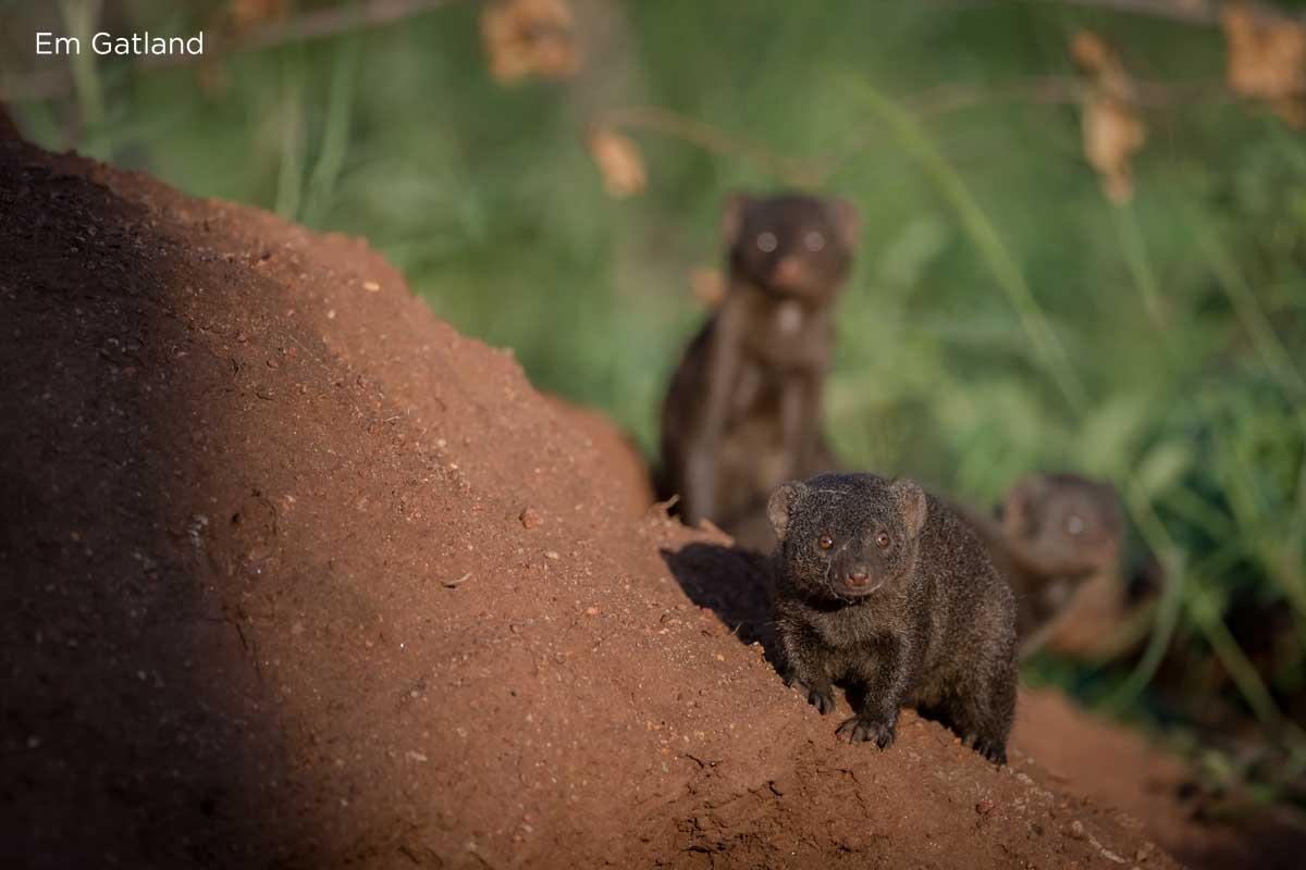 Dwarf Mongoose Sun Safaris