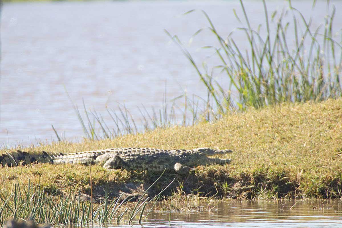 Crocodile Moremi National Park - Nik Simpson