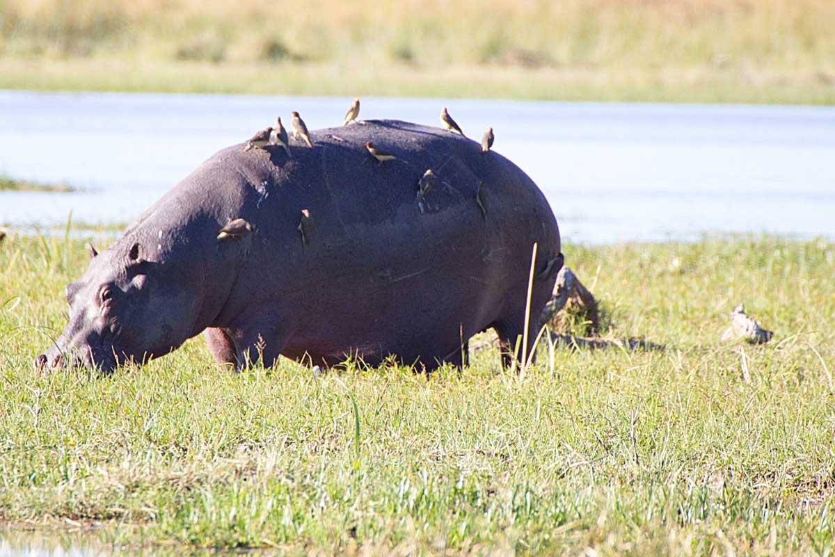 Hippo in Moremi - Nik Simpson