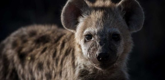 5 Interesting Facts About the Spotted Hyena