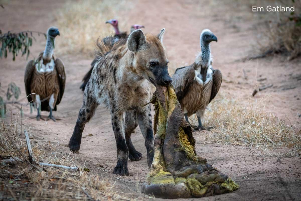 Hyena Scavenging - Em Gatland
