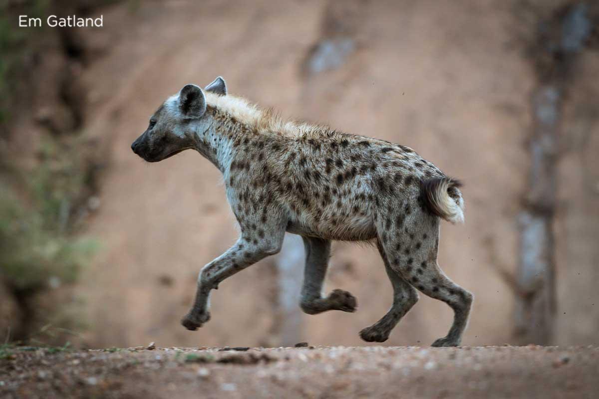 Hyena in the Wild - Em Gatland