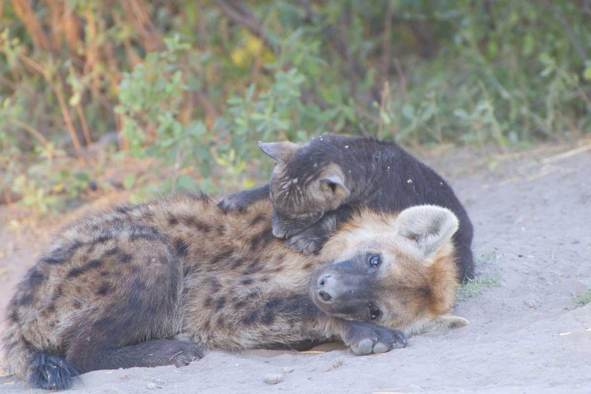 Savuti Hyena Cubs - Nik Simpson