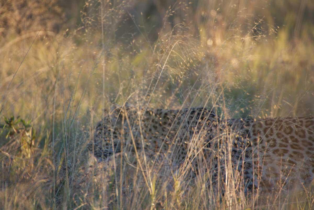 Savuti Leopard - Nik Simpson