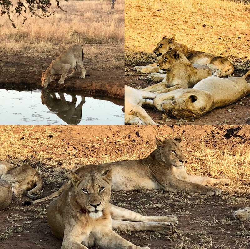 Umkumbe Lions Sabi Sand