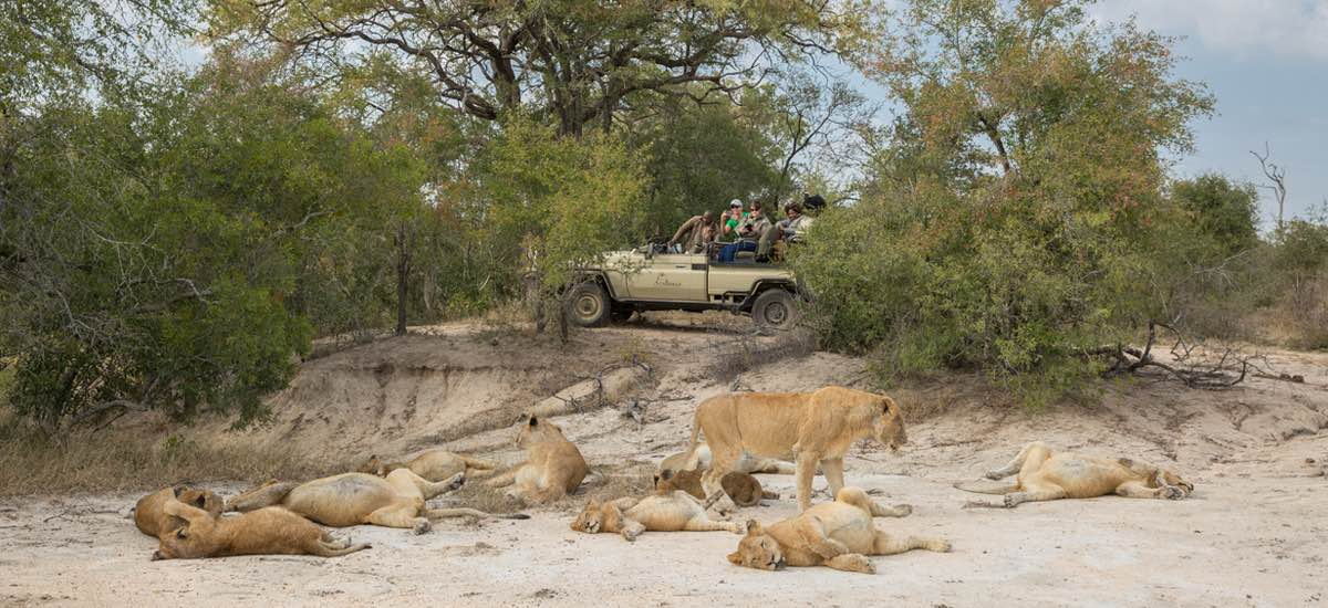 Arathusa Safari Lodge on game drive, spotting a pride of sleepy lions