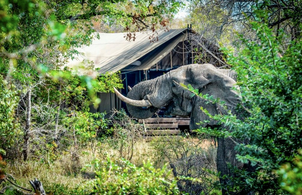 Elephant browses in front of tent at Khoka Moya Camp in Manyeleti
