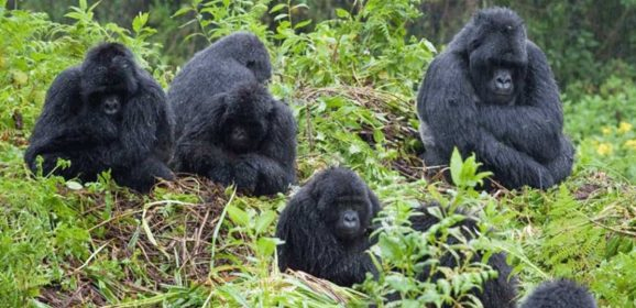 Gorilla trekking in Uganda, the Pearl of Africa
