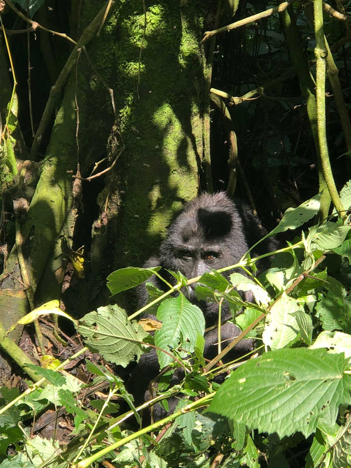 Gorilla trekking in Uganda, Gorilla trekking in Uganda, the Pearl of Africa