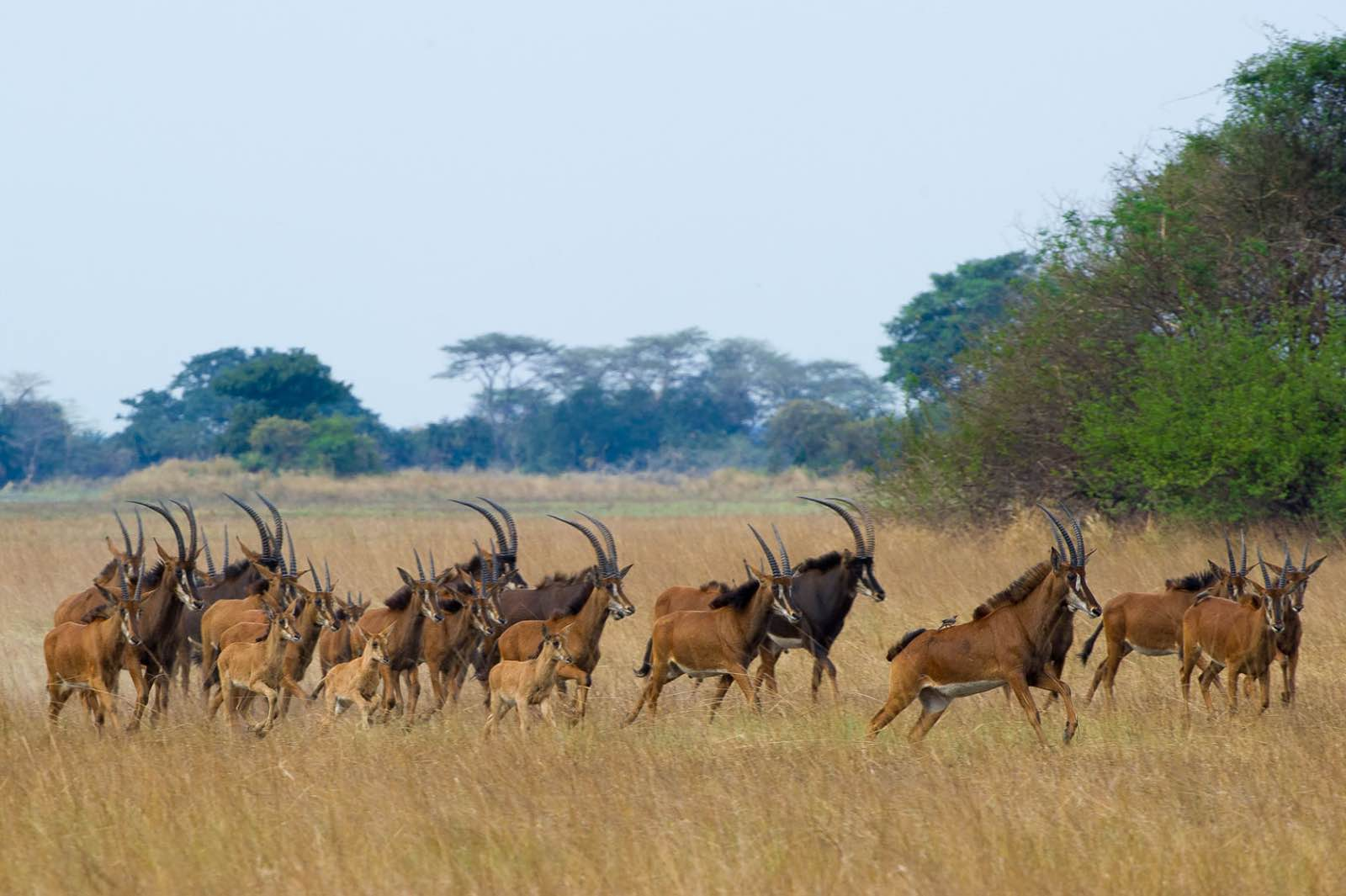Amazing opportunities to seen the rare roan antelope at Busanga Bush Camp