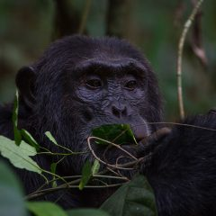 Going Chimpanzee Trekking? Here are 3 Facts About Chimps.