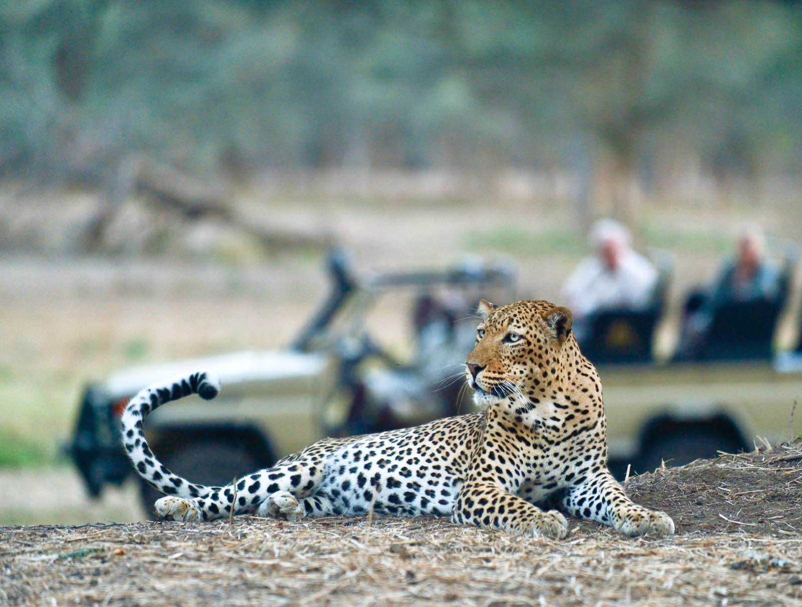 Fantastic leopard sighting on game drive with Old Mondoro Camp