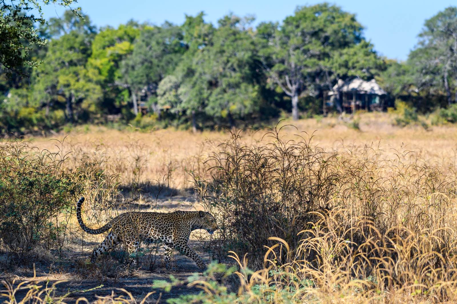Leopard stalks in the grass in front of Chindeni