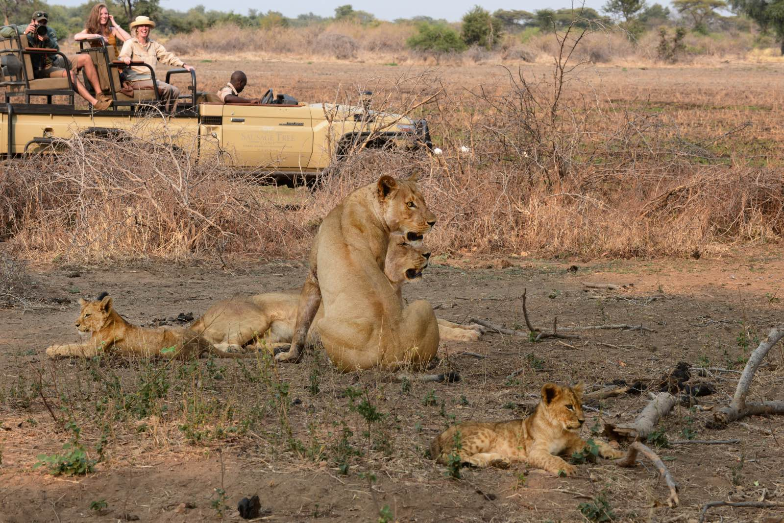 Lions on game drive with Sausage Tree Camp in Lower Zambezi National Park
