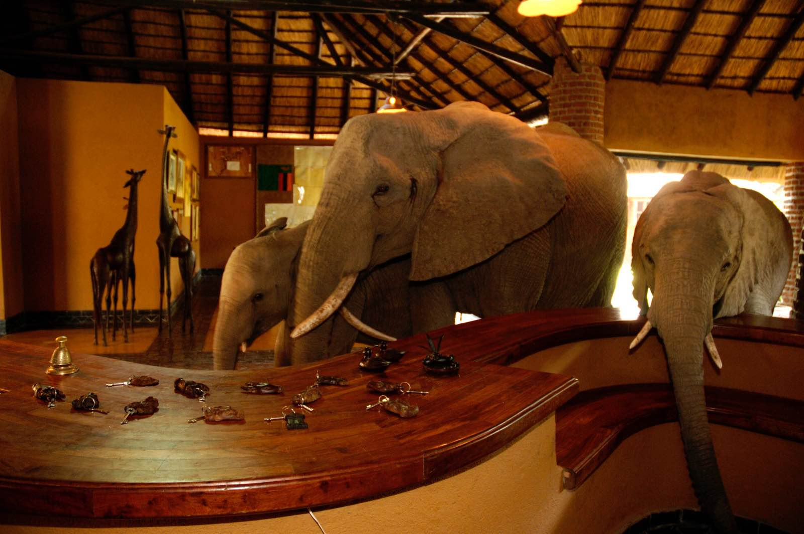 The herd of elephants moves through tje reception area of Mfuwe Lodge on their way to find the wild mango tree on the other side