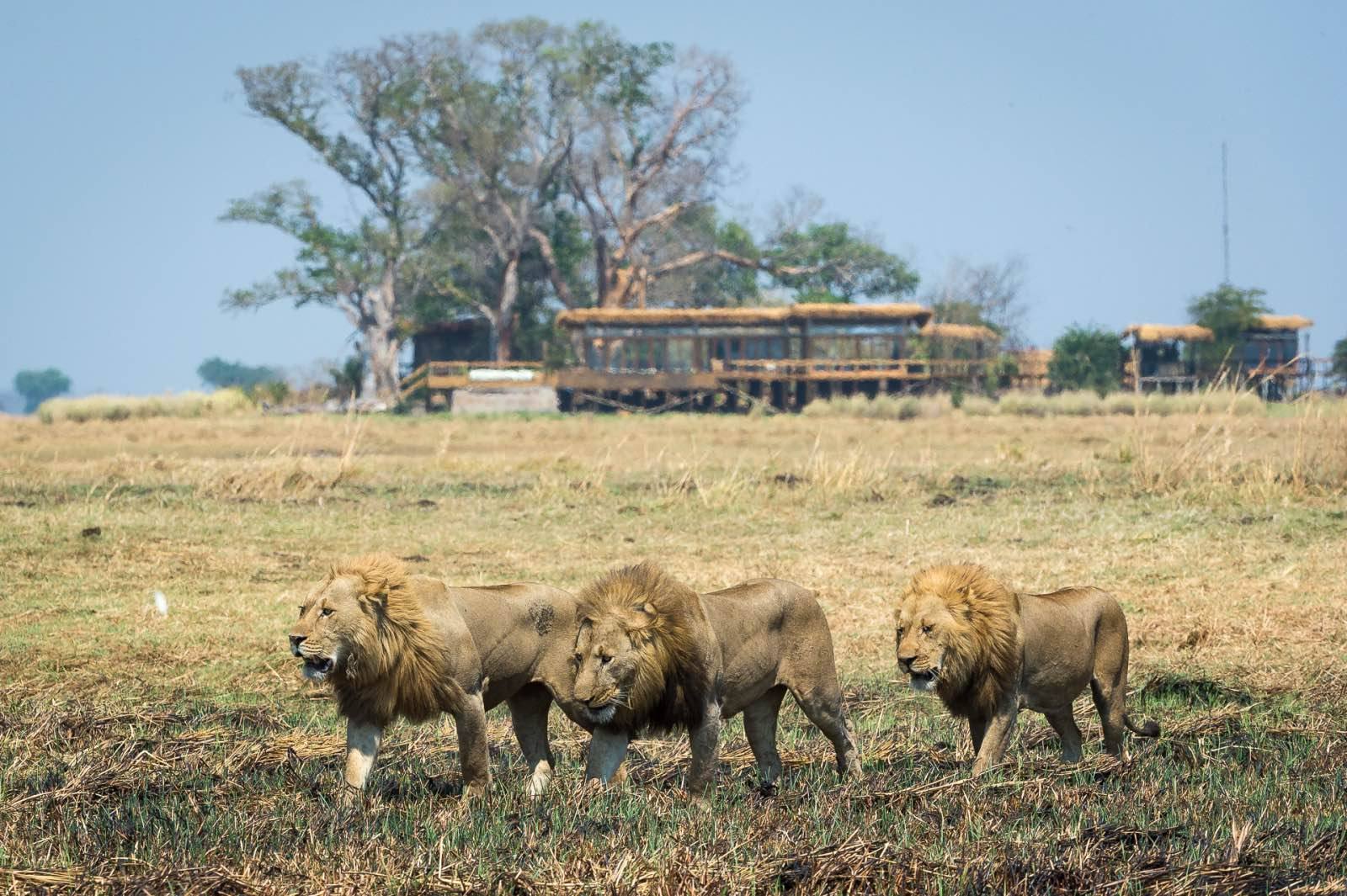 Three male lions parading their territory right in front of Shumba Camp