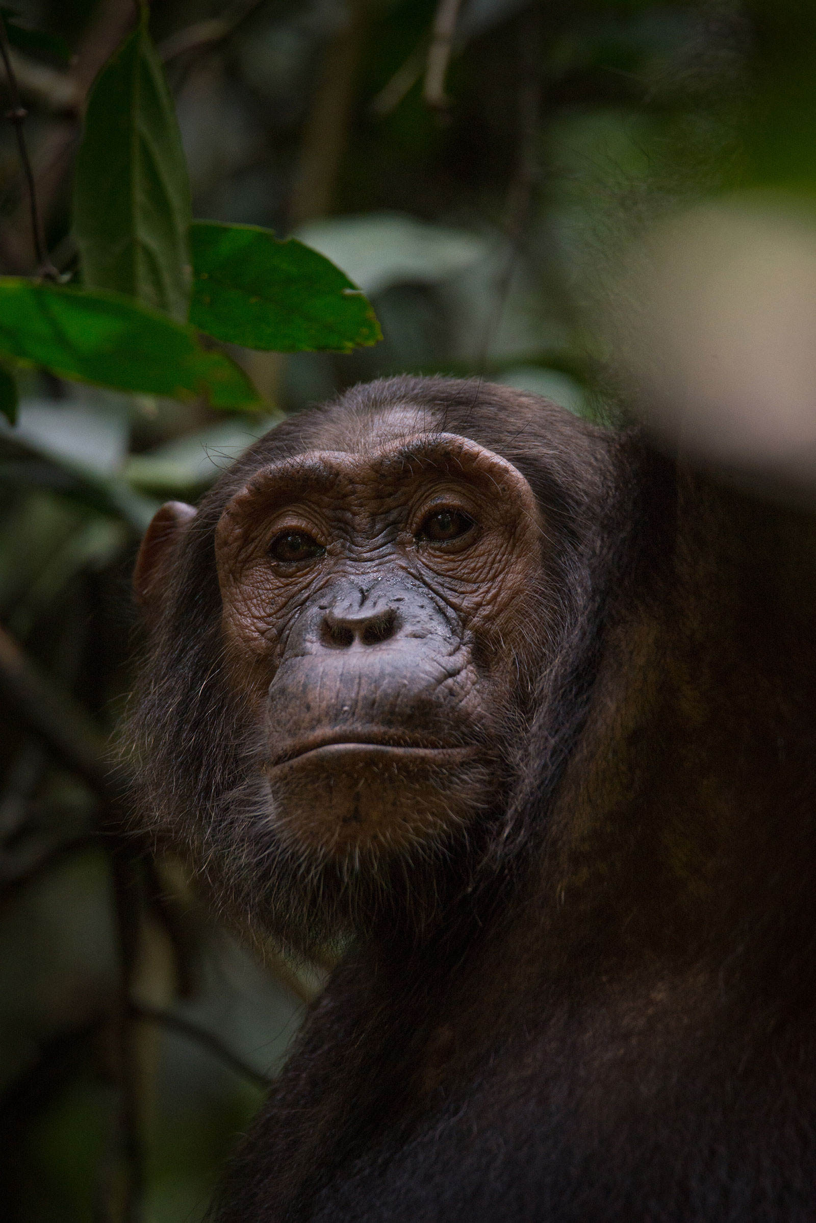 Chimpanzee Trekking, Going Chimpanzee Trekking? Here are 3 Facts About Chimps.