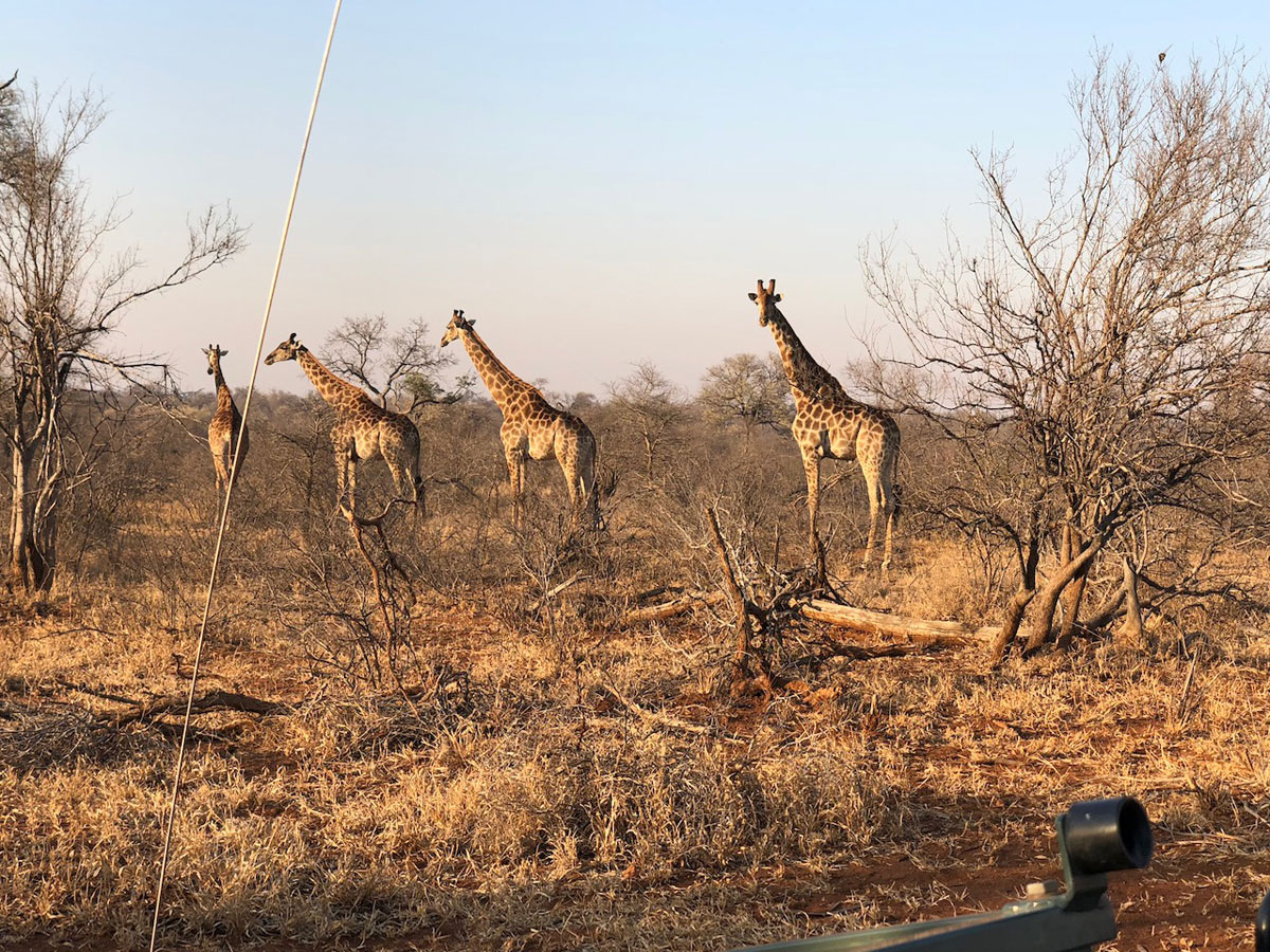 Giraffe in the Bushveld
