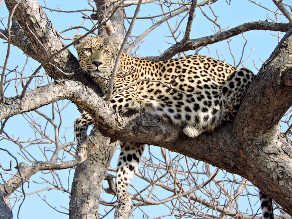Leopard in Tree - Kruger
