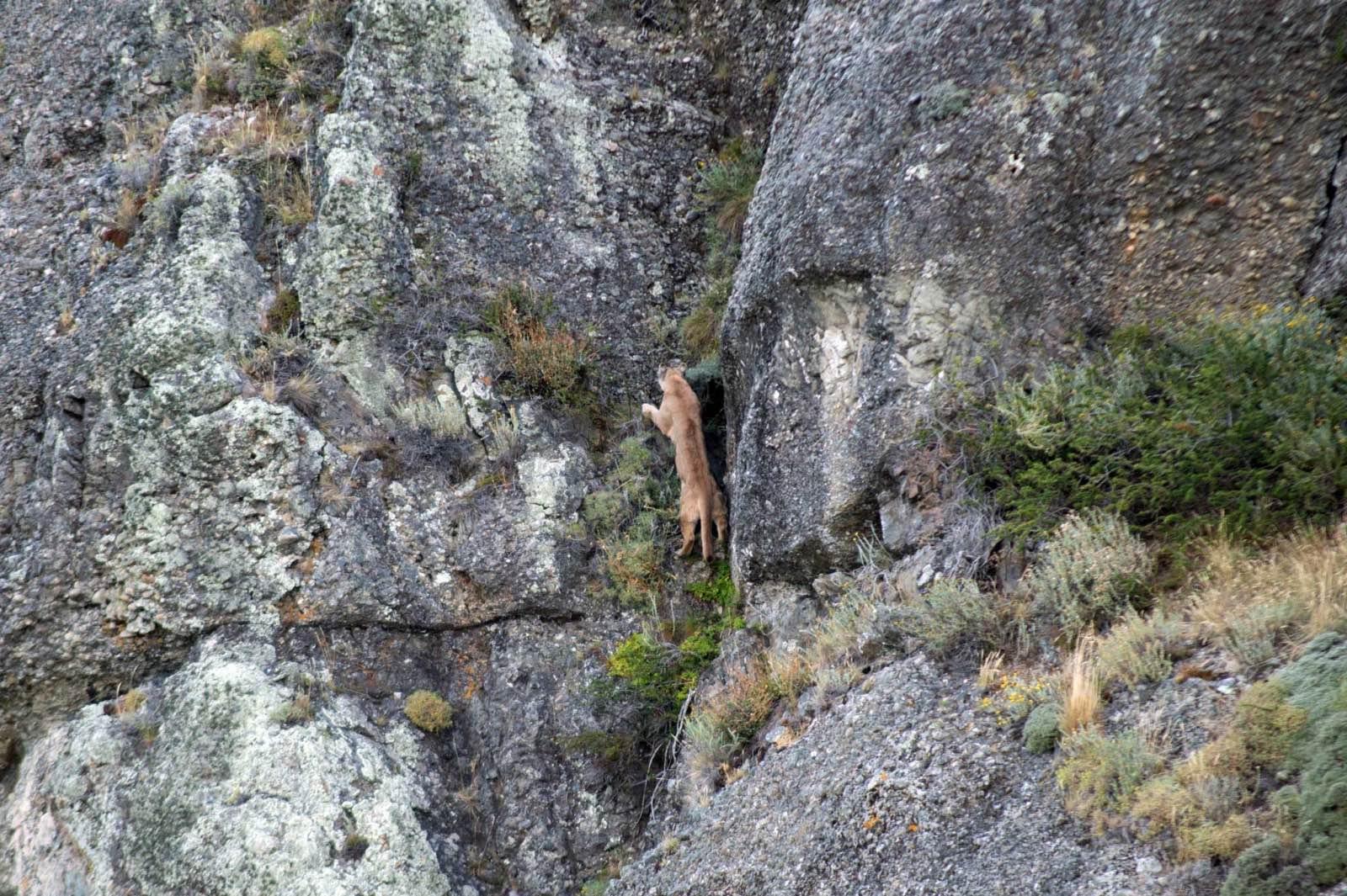 Puma on the move, Laguna Amarga, Torres del Paine