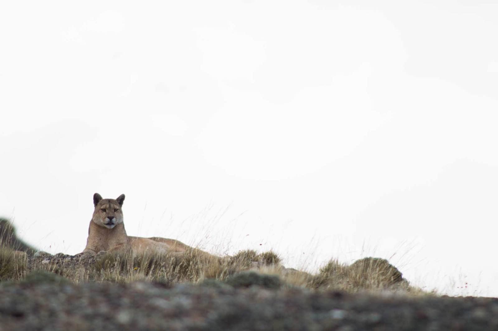 Puma tracking, Laguna Amarga