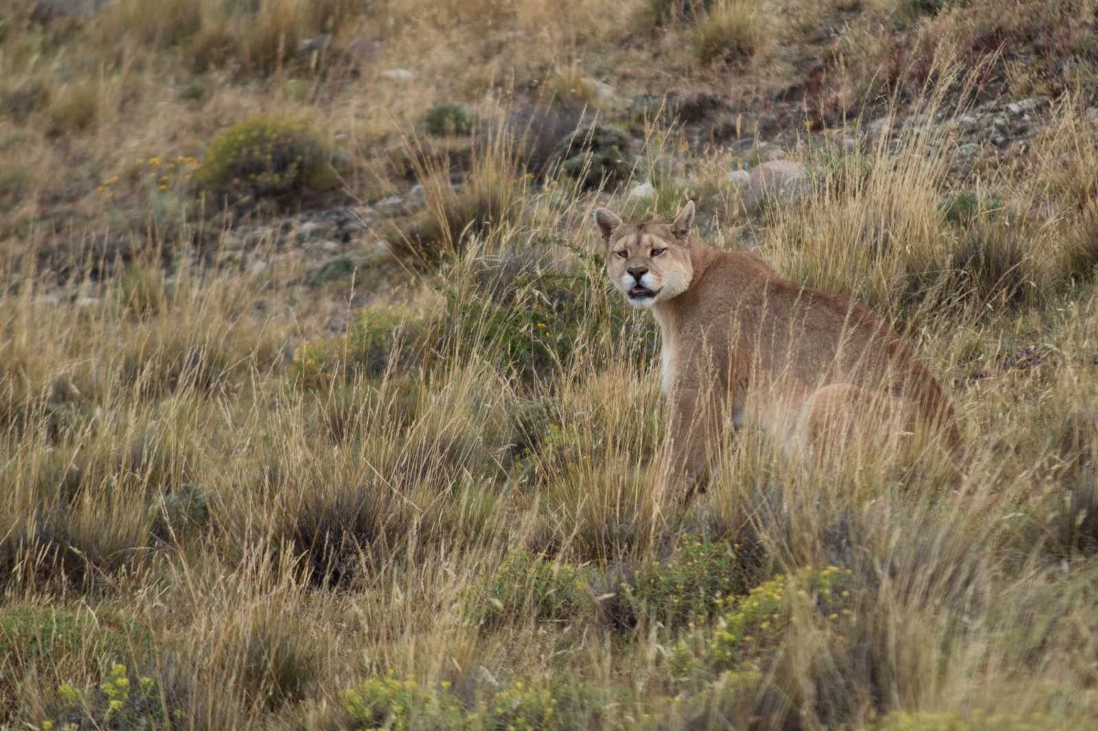 Puma, Laguna Amarga, Torres del Paine