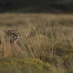 Puma Tracking at Torres del Paine in Patagonia