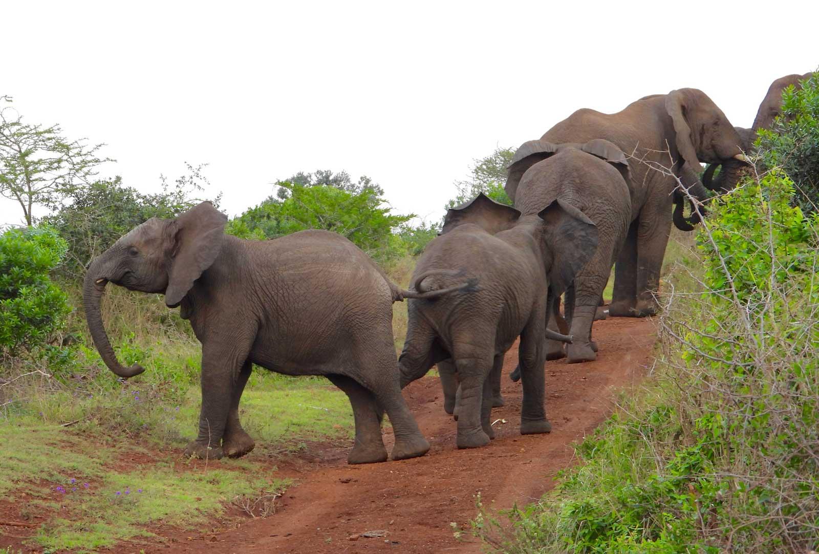 Elephant Herds on Safari