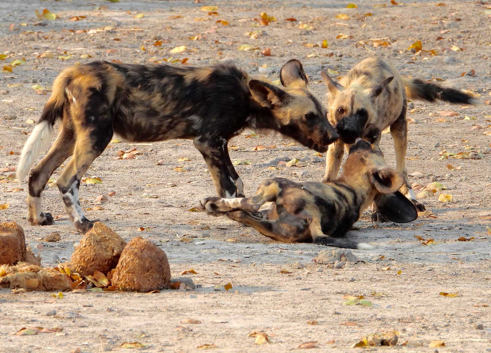 Wild Dogs on Safari