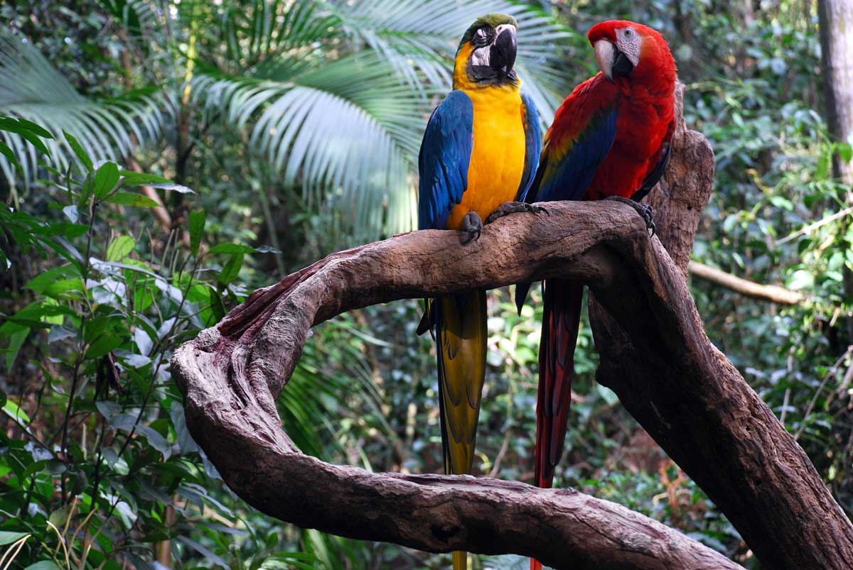 Macaw Parrots in Brazil