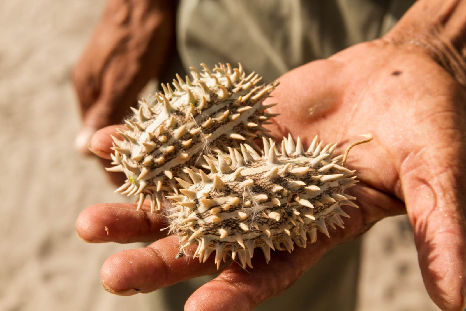 Natural treasures of the desert, identified on a bush walk with the San