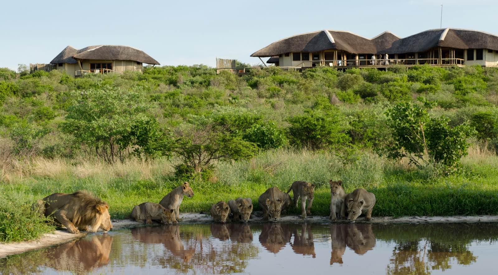 Pride of lions drinking at the pan in front of Tau Pan Camp - exactly why this Kalahari lodge was given its name