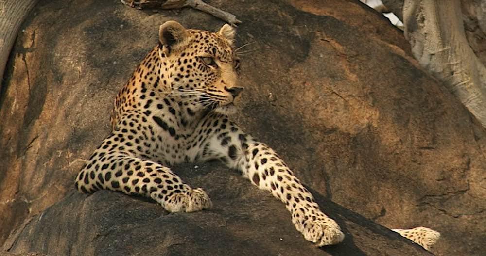 RockFig leopardess in her throne