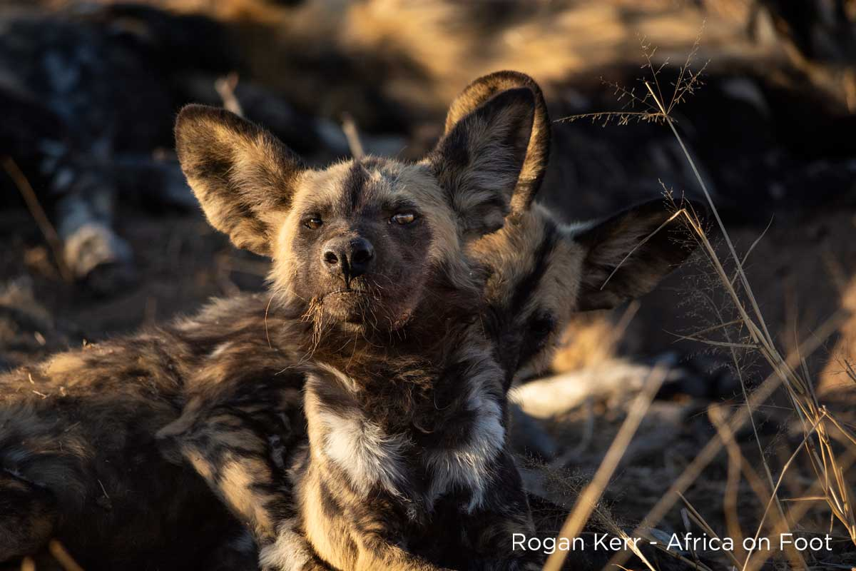 African Wild Dogs, Where the African Wild Dogs Roam