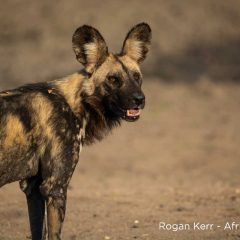 Where the African Wild Dogs Roam